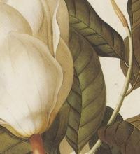 Magnolia-grandiflora_Ehret_Prof-Girot_ETHZ